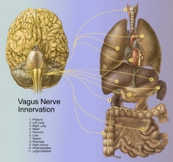 vagus nerve innervation graphic